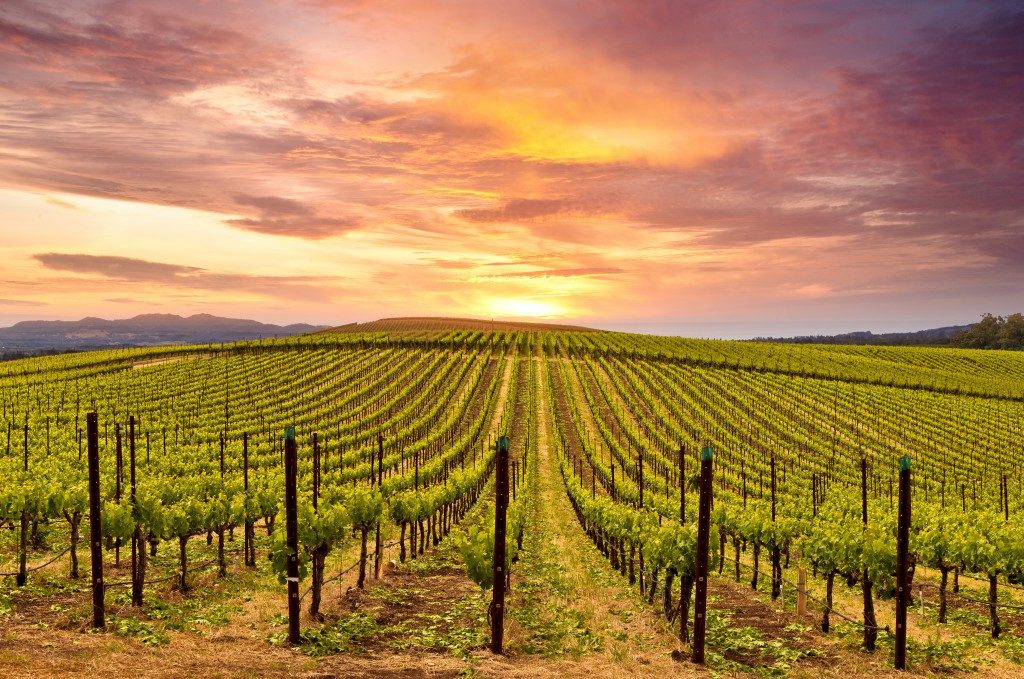 Vineyard during sunrise