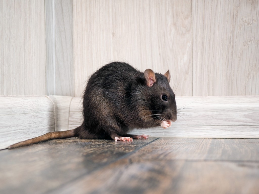 rat in a corner of the house