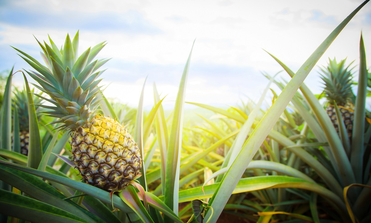 pineapple fabric concept